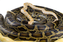 Royal pythons Royalty Free Stock Image