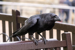 Royal raven Stock Photography