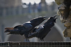Royal ravens in the Tower of London. Two royal ravens standing on a cage in the Tower of London Royalty Free Stock Photography