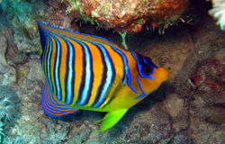 Royal or regal angelfish,Pygoplites diacanthus Stock Photo