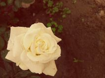 Royal rose. A rose with rain drops looks very beautiful Stock Image