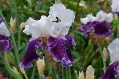 Royal Snowcap Iris Stock Photos