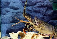 Royal spiny lobster Royalty Free Stock Image