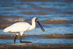 Royal spoonbill. An Australian Royal spoonbill (Platalea regia) wading on the intertidal flat looking for food royalty free stock image