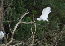 Royal spoonbill bird in flight. At Western Springs in Auckland, New Zealand Royalty Free Stock Images