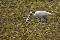 Royal Spoonbill bird Royalty Free Stock Image