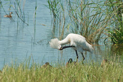 Royal spoonbill in bowing Royalty Free Stock Photography