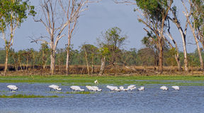 Royal Spoonbill on Lake Broadwater. Stock Image