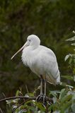 Royal Spoonbill On A Perch. A Royal Spoonbil resting on a perch royalty free stock photography