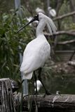 A royal spoonbill Royalty Free Stock Photography
