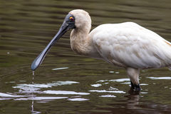 Royal spoonbill (Platalea regia). Portrait of royal spoonbill (Platalea regia) wading in a creek with drops of water falling from its beak. Northern NSW royalty free stock image
