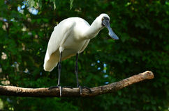 Royal Spoonbill Stock Images