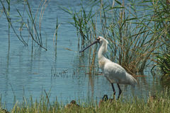 Royal spoonbill in swamp Royalty Free Stock Photography