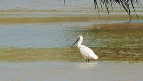 Royal spoonbill wading at bird billabong