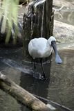 Royal spoonbill Royalty Free Stock Images