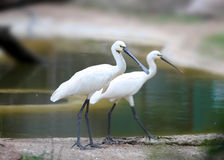 Royal Spoonbills Royalty Free Stock Image