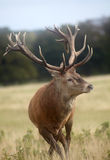 Royal stag Royalty Free Stock Photo