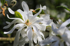Royal Star Magnolia flower Stock Image
