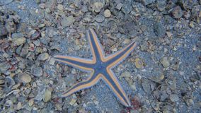 Royal Starfish found while scuba diving royalty free stock photo