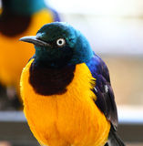 Royal starling, cosmopsarus regius Royalty Free Stock Images