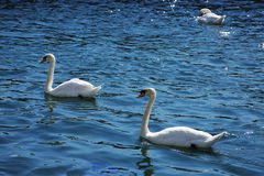 Royal Swan. A pair of Royal swans during the courtship Royalty Free Stock Image