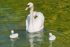 Royal swan with small Stock Photo
