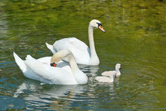 Royal swans with brood Stock Photo