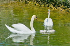 Royal swans with small Royalty Free Stock Image