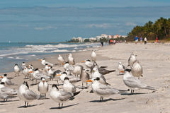Royal Terms and sea gulls Stock Photo