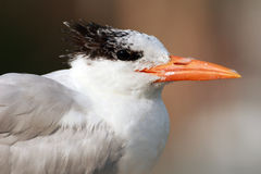 Royal Tern Royalty Free Stock Images