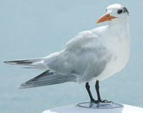 Royal tern Stock Photo