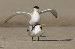 Royal Tern Royalty Free Stock Photography