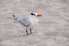 Royal Tern Stock Images