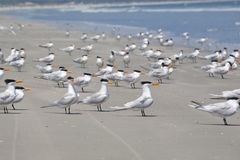 Royal Tern Royalty Free Stock Photo