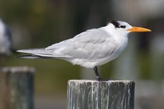 royal tern Obrazy Stock