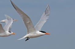 Free Royal Tern Stock Image - 24189551