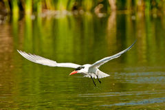 Royal Tern Stock Image