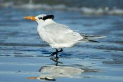 Free Royal Tern Royalty Free Stock Images - 34305899