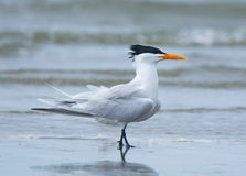 Free Royal Tern Royalty Free Stock Photo - 58859135