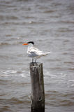 Royal Tern. A Royal Tern sits on a piling in Charlotte Harbor, Florida royalty free stock photo