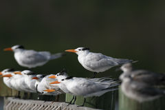 Royal Tern. Sterna maxima - perched on a dock Royalty Free Stock Photos