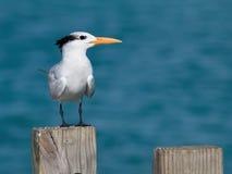 Royal tern Royalty Free Stock Photo