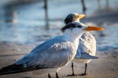 A Royal Tern Bird in Anna Maria Island, Florida. Birds enjoying the epic scenery of sunset in the beach of Anna Maria Key stock photo