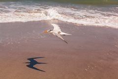 Royal tern flying above a beach. Royal tern in bright sunlight flying above a Florida beach with the ocean in the background, Melbourne Beach Stock Photos