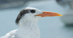Royal tern close-up. Detailed close-up of a royal tern bird from St Thomas US Virgin islands Stock Images