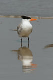 Royal Tern - Cumberland Island Geo Royalty Free Stock Photo