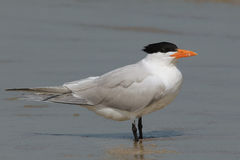 Royal Tern - Cumberland Island Georgia Stock Photos