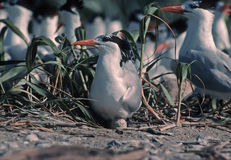 Royal tern on egg. Royal tern in nesting colony,Chandeleur Islands,Louisiana.Before the oil spill Royalty Free Stock Images