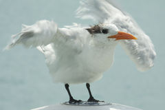Royal tern flapping. Sea bird named Royal tern standing on a bollard and flappings its wings Royalty Free Stock Photography