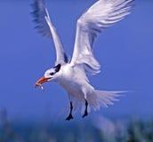 Royal tern in flight stock photo
